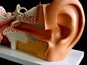 How does the ear of a musician work?